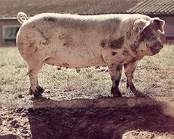 Mestgassen varkens gasdetectie